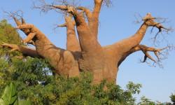 albero di baobab